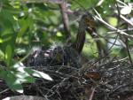 #8-9069 Yellow-crown Night Heron Fledgling