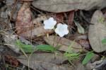 8057 Sandhill Dawn Flower (Stylisma patens)