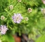 8079 Unknown Flower