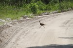 8083 Young wild turkey runs crossing the road