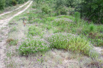 8707---7-19-15 Feay's Prairie-clover (Rozier Road)