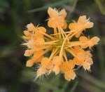 9400 Orange Fringed Orchid