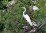 Great egret w. ibis