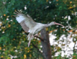 In-coming ibis