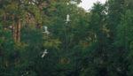 Juvenile ibis flying in