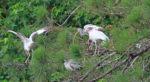 Juvenile ibis landing