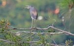 Little blue heron looking to mate