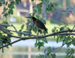Lone little green heron