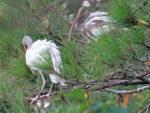 White Ibis juveniles