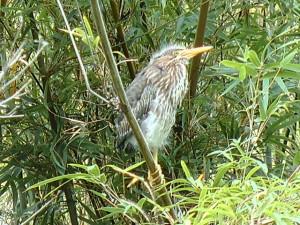 Fledging Green Heron