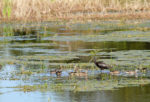 2246-white-face-ibis-and-the-teal-ducks