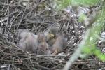 5302-little-green-heron-chicks