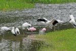 5603-4-13-16-spoonbill-roseates-wood-storks