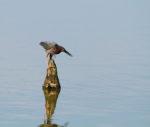 6294-4-27-16-green-heron-harris-neck