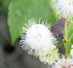 6750-6-3-15-great-purple-hairstreak-on-button-bush