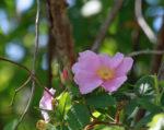 6934-5-14-16-swamp-rose-bouquet-altamaha-river-2