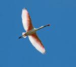 9320-spoonbill-roseate-in-flight-2